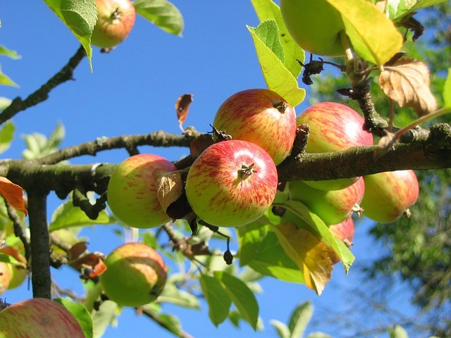 Apples are a great source of fiber