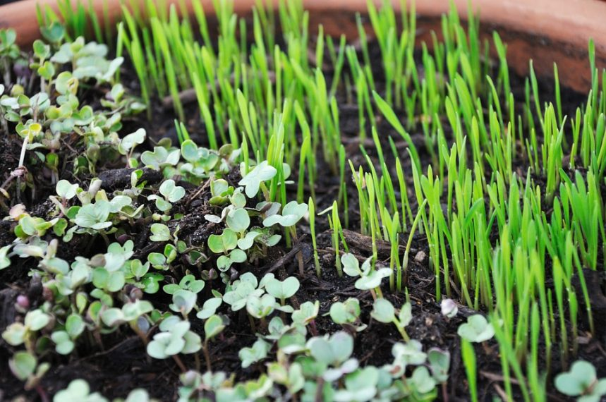 health benefits of micro-greens